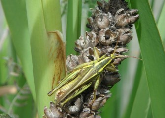 A grasshopper rests on a dried stalk.  Grasshoppers are beneficial to the environment in several ways, including aiding in plant decomposition.