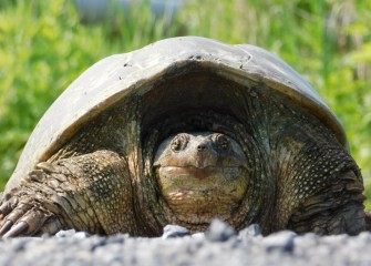 Because of its body armor, strong jaw and claws, a mature Common Snapping Turtle has few natural predators and can live up to 30 years.  Snapping Turtles spend most of their time in and around water.