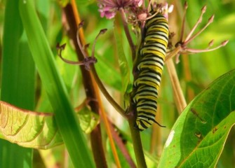 A monarch  caterpillar on swamp milkweed, a native plant. Milkweed, the only food consumed by monarch caterpillars, is key to the survival of the colorful monarch butterfly species.