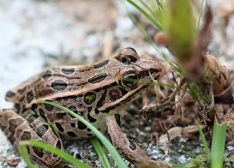 A Northern Leopard Frog in recently restored habitat at Harbor Brook.