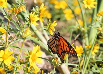 A monarch butterfly drinks nectar from fall blooming nodding bur marigold planted near Harbor Brook earlier this year.