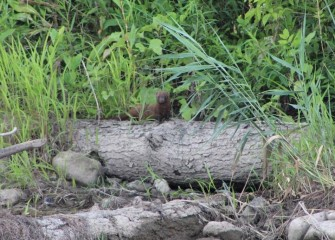 An American mink is spotted on a log along the creek bank. Minks live near water and are good swimmers. They are carnivorous and will eat fish, frogs, reptiles or small mammals.