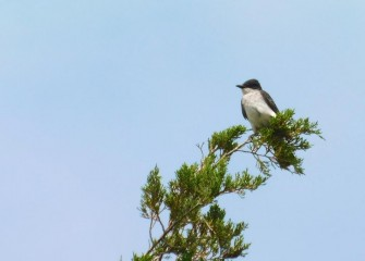 The Eastern Kingbird is expert at catching flying insects and supplements its diet with berries. Eastern Kingbirds are summer visitors, migrating to South America in winter.