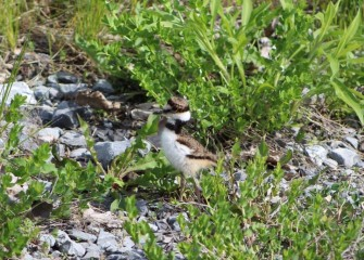 This Killdeer hatchling's parent is probably nearby. Killdeer chicks are able to walk already upon hatching (but not fly), following their parents foraging for food on the ground.