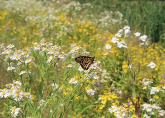 A year after planting, a tapestry of native plants blooms near in-lake wetlands by the mouth of Nine Mile Creek.