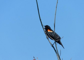 A male Red-Winged Blackbird perched atop a tree sings. Red-Winged Blackbirds nest in wetland areas; males are territorial during breeding season.