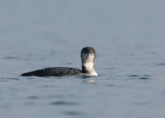 """Immature Common Loon&quotPhoto by Greg Craybas"