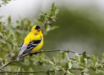 """Goldfinch&quotPhoto by John DeNicola"