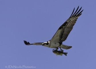 """Osprey&quotPhoto by John DeNicola"
