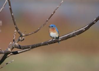 """Eastern Bluebird&quotPhoto by Phillip Bonn"