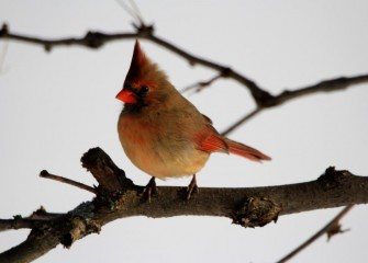 """Northern Cardinal""Photo by Phillip Bonn"