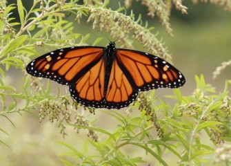 """Monarch Butterfly""Photo by Phillip Bonn"