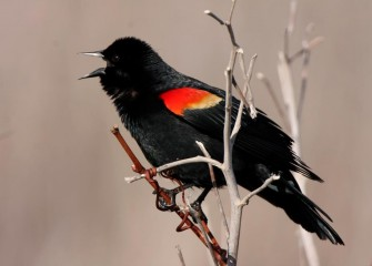 """Red-winged Blackbird""Photo by Phillip Bonn"