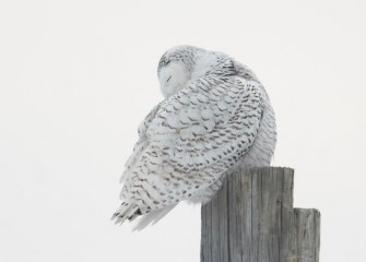 """Preening Snowy Owl""Photo by Diana Whiting"