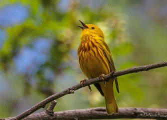 """Happy Warbler""Photo by John DeNicola"