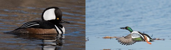 "Left: ""Hooded Merganser"" by Greg Craybas. Right: ""Taking Flight"" by Diana Whiting."