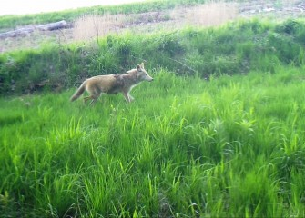 A field camera captures a coyote passing through restored grassland uphill from the water's edge.