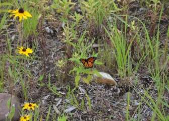 A monarch butterfly stops momentarily on a plant in a restored area.  According to U.S. Fish & Wildlife Service, numbers of monarchs have decreased significantly over the last 20 years due in part to loss of habitat.