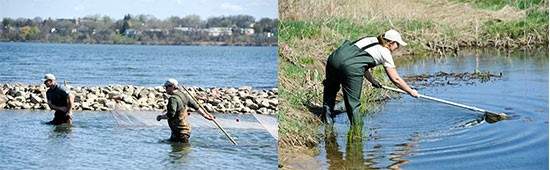 Left: Matt McDonough (left) and Jesse Carr, Parsons habitat experts, use a seine net to catch and identify fish. Right: Candace Schermerhorn, Young Naturalists Leadership Team member, nets aquatic species at Geddes Brook wetlands.