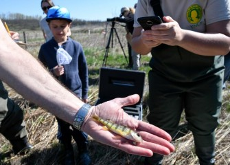 After observation, all fish including this juvenile yellow perch are returned to the Geddes Brook wetlands pond.