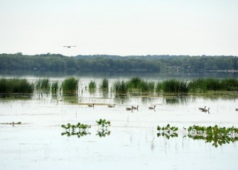Numerous waterfowl are seen in the in-lake wetlands near the mouth of Nine Mile Creek.