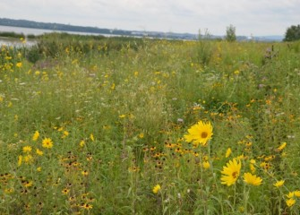 A meadow area of diverse native species blooms late summer, including black-eyed Susans and oxeye sunflowers (taller yellow).