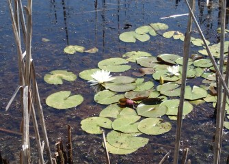 White water lilies provide refuge for fish and amphibians, as well as food for mammals such as beaver and muskrat.
