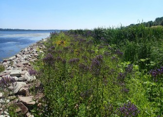 Native wetland plants such as blue vervain line the shores of Onondaga Lake, providing habitat for pollinators such as bees, butterflies and moths.