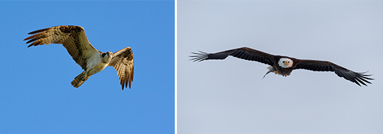 "Left: ""A Fish's Last View"" - Osprey by Walter Freeman. Right: ""Wind Walker"" - Bald Eagle by Greg Craybas."