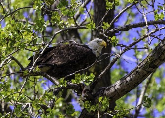 """Bald Eagle""Photo by John DeNicola"