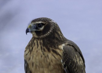 """Northern Harrier""Photo by John DeNicola"