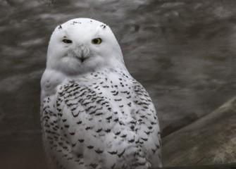 """""""Snowy Owl""""Photo by John DeNicola"""