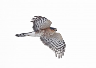 """Patrol""Sharp-shinned HawkPhoto by Jonathan M. Kresge"