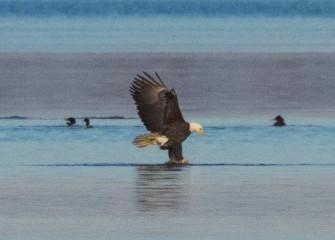 """The Eagle has Landed""Photo by Joseph Karpinski"