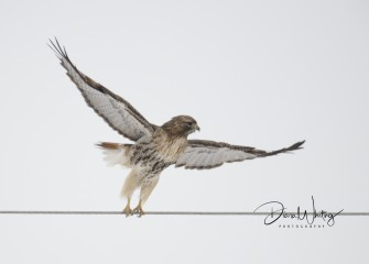 """""""Red Tail Ballet""""Photo by Diana Whiting"""