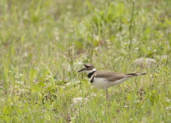 A Killdeer is spotted near the shoreline. Killdeer feed primarily on invertebrates such as worms, grasshoppers or insect larvae found on the ground or along the water's edge.