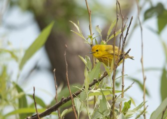 A busy male Yellow Warbler stops briefly on a branch nearby. Yellow Warblers prefer to breed in a thicket or wooded area near water or wetlands.