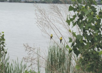 Two male American Goldfinches with full breeding plumage are spotted near the water's edge.