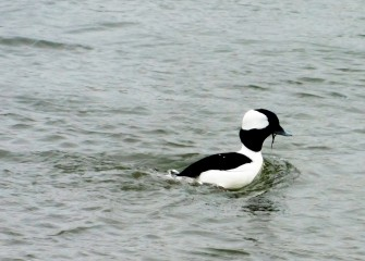 A male Bufflehead feeds in the open water at Nine Mile Creek. The Bufflehead is North America's smallest diving duck.