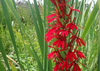 The striking red blooms of the native cardinal flower attract hummingbirds, which feed on the plant's nectar.