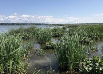 Native vegetation, such as bulrush and pickerel weed, was planted in shallow-water areas of Onondaga Lake to improve the fishery.
