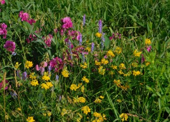 Colorful vegetation including everlasting pea (pink), birdsfoot trefoil (yellow), and cow vetch (purple) thrives at LCP Wetlands.