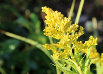 The native Canada goldenrod, an important source of nectar for bees, also provides cover for a variety of birds.
