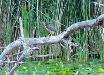 A Green Heron perches on a branch. Wooded ponds and marshes provide ideal habitat for this shorter and stockier heron, which feeds on fish and amphibians.