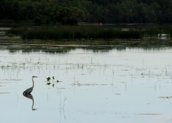 A Great Blue Heron wades in still waters in Onondaga Lake near the mouth of Nine Mile Creek.