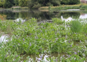 The native pickerelweed (purple blooms) is an emergent species that provides aquatic habitat for various species of fish, such as Chain Pickerel, as the plant name suggests.
