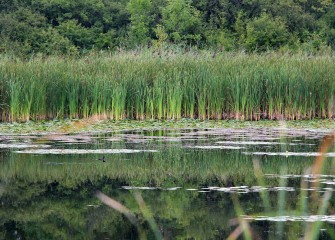 A solitary Pied-billed Grebe (center left) swims in the quiet secluded LCP Wetlands. The Pied-billed Grebe is listed as a threatened species in New York State.