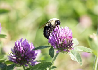 A bumblebee feeds on the nectar from red clover.