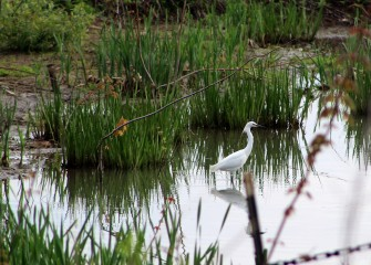 A Snowy Egret is spotted in recently created wetlands along the southwest shoreline of the lake.  Snowy Egrets hunt in shallow wetland waters, waiting to spear prey with their long black bills.
